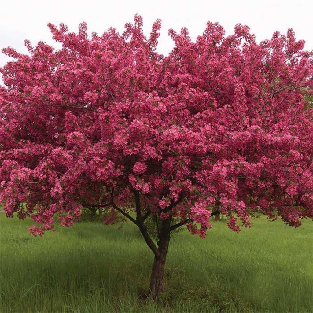 flowering-crab-jung-garden-and-flower-seed-company-in-flowering-crabapple
